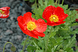 Spring Fever Red Poppy (Papaver nudicaule 'Spring Fever Red') at Jolly Lane Greenhouse