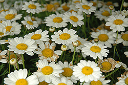 Madeira White Marguerite Daisy (Argyranthemum frutescens 'Madeira White') at Jolly Lane Greenhouse