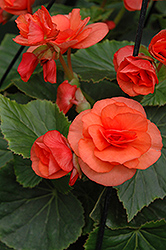 Solenia® Orange Begonia (Begonia 'Solenia Orange') at Jolly Lane Greenhouse
