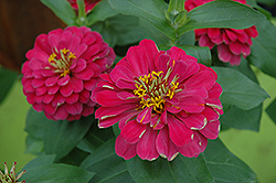 Magellan Cherry Zinnia (Zinnia 'Magellan Cherry') at Jolly Lane Greenhouse