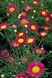 Madeira Red Marguerite Daisy (Argyranthemum frutescens 'Madeira Red') at Jolly Lane Greenhouse