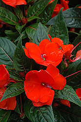 Celebration Orange New Guinea Impatiens (Impatiens hawkeri 'Celebration Orange') at Jolly Lane Greenhouse