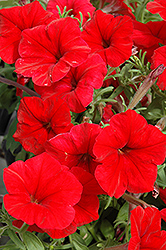 Madness Red Petunia (Petunia 'Madness Red') at Jolly Lane Greenhouse