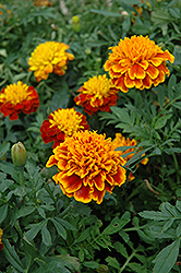 Janie Flame Marigold (Tagetes patula 'Janie Flame') at Jolly Lane Greenhouse