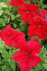 Super Cascade Red Petunia (Petunia 'Super Cascade Red') at Jolly Lane Greenhouse