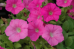 Wave Pink Petunia (Petunia 'Wave Pink') at Jolly Lane Greenhouse