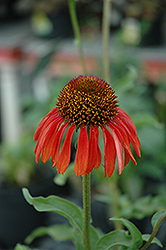 Firebird Coneflower (Echinacea 'Firebird') at Jolly Lane Greenhouse