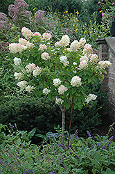 Limelight Hydrangea (tree form) (Hydrangea paniculata 'Limelight (tree form)') at Jolly Lane Greenhouse