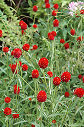 Strawberry Fields Gomphrena (Gomphrena haageana 'Strawberry Fields') at Jolly Lane Greenhouse