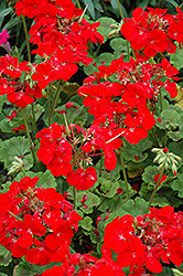 Pinto Premium Deep Red Geranium (Pelargonium 'Pinto Premium Deep Red') at Jolly Lane Greenhouse