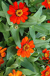 Profusion Fire Zinnia (Zinnia 'Profusion Fire') at Jolly Lane Greenhouse