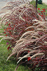 Fireworks Fountain Grass (Pennisetum setaceum 'Fireworks') at Jolly Lane Greenhouse