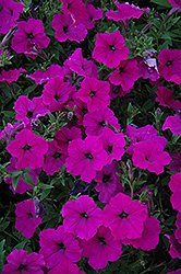 Easy Wave Violet Petunia (Petunia 'Easy Wave Violet') at Jolly Lane Greenhouse
