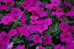 Easy Wave® Neon Rose Petunia (Petunia 'Easy Wave Neon Rose') at Jolly Lane Greenhouse