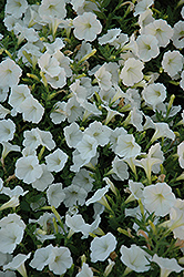 Shock Wave Coconut Petunia (Petunia 'Shock Wave Coconut') at Jolly Lane Greenhouse