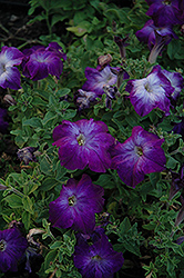 Sophistica Blue Morn Petunia (Petunia 'Sophistica Blue Morn') at Jolly Lane Greenhouse