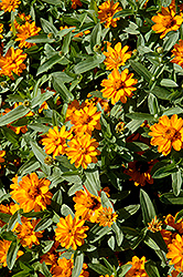 Profusion Double Golden Zinnia (Zinnia 'Profusion Double Golden') at Jolly Lane Greenhouse
