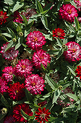 Zahara® Double Cherry Zinnia (Zinnia 'Zahara Double Cherry') at Jolly Lane Greenhouse