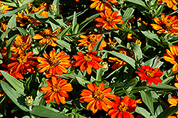 Profusion Orange Zinnia (Zinnia 'Profusion Orange') at Jolly Lane Greenhouse