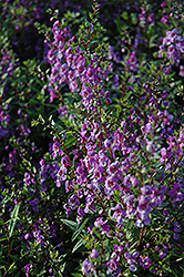 Serena Purple Angelonia (Angelonia angustifolia 'Serena Purple') at Jolly Lane Greenhouse