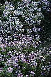 Clear Crystal Lavender Shades Sweet Alyssum (Lobularia maritima 'Clear Crystal Lavender Shades') at Jolly Lane Greenhouse
