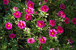 Superbells® Cherry Red Calibrachoa (Calibrachoa 'Superbells Cherry Red') at Jolly Lane Greenhouse