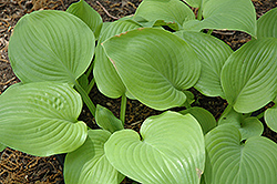 Fried Bananas Hosta (Hosta 'Fried Bananas') at Jolly Lane Greenhouse