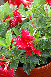 Sun Parasol® Crimson Mandevilla (Mandevilla 'Sun Parasol Crimson') at Jolly Lane Greenhouse