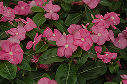 Titan™ Rose Vinca (Catharanthus roseus 'Titan Rose') at Jolly Lane Greenhouse