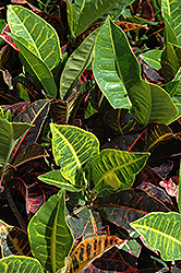 Variegated Croton (Codiaeum variegatum) at Jolly Lane Greenhouse