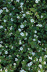 Big Falls White Bacopa (Sutera cordata 'Big Falls White') at Jolly Lane Greenhouse