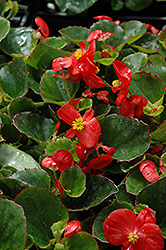 Super Olympia Red Begonia (Begonia 'Super Olympia Red') at Jolly Lane Greenhouse