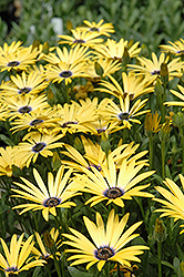 Lemon Symphony African Daisy (Osteospermum 'Lemon Symphony') at Jolly Lane Greenhouse