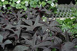 Blackie Sweet Potato Vine (Ipomoea batatas 'Blackie') at Jolly Lane Greenhouse