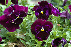 Colossus Neon Violet Pansy (Viola 'Colossus Neon Violet') at Jolly Lane Greenhouse