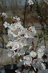 Sungold Apricot (Prunus 'Sungold') at Jolly Lane Greenhouse