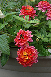 Landmark Sunrise Rose Lantana (Lantana camara 'Landmark Sunrise Rose') at Jolly Lane Greenhouse