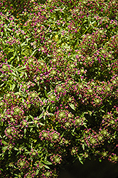 Purple Stream Sweet Alyssum (Lobularia maritima 'Purple Stream') at Jolly Lane Greenhouse