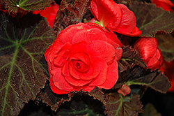 Nonstop® Mocca Cherry Begonia (Begonia 'Nonstop Mocca Cherry') at Jolly Lane Greenhouse