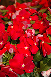 Cora® Red Vinca (Catharanthus roseus 'Cora Red') at Jolly Lane Greenhouse