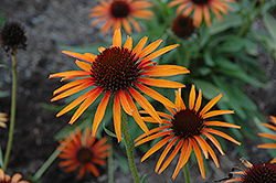 Flame Thrower Coneflower (Echinacea 'Flame Thrower') at Jolly Lane Greenhouse