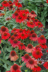 Sombrero® Salsa Red Coneflower (Echinacea 'Balsomsed') at Jolly Lane Greenhouse
