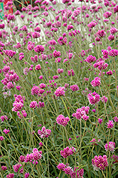 Fireworks Gomphrena (Gomphrena 'Fireworks') at Jolly Lane Greenhouse