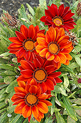 New Day Clear Red Shades (Gazania 'New Day Red Shades') at Jolly Lane Greenhouse