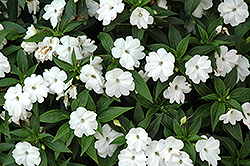 Divine™ White New Guinea Impatiens (Impatiens hawkeri 'Divine White') at Jolly Lane Greenhouse