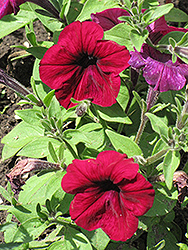 Madness Burgundy Petunia (Petunia 'Madness Burgundy') at Jolly Lane Greenhouse