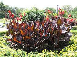 Red King Humbert Canna (Canna 'Red King Humbert') at Jolly Lane Greenhouse