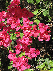 Barbara Karst Bougainvillea (Bougainvillea 'Barbara Karst') at Jolly Lane Greenhouse