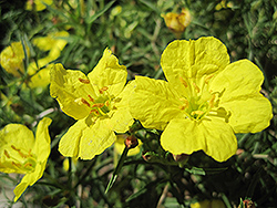 Shimmer Evening Primrose (Oenothera fremontii 'Shimmer') at Jolly Lane Greenhouse