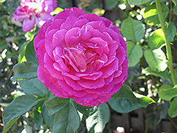 Outta The Blue Rose (Rosa 'Outta The Blue') at Jolly Lane Greenhouse